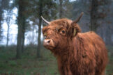 Highland Yearling Looking Slightly Surprised