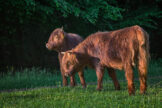 Highland Yearlings in Morning Light