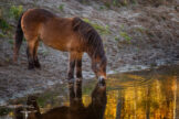 Horse Drinking from Golden Pond