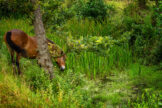 Horse Grazing Amidst Lush Greenery of Overgrown Forest Ditch