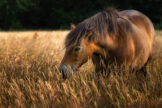 Horse Grazing in Tall Wild Grass