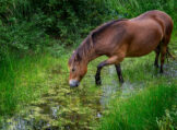 Horse Grazing on Rushes in a Forest Ditch