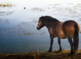 Horse Lingering at a Waterhole