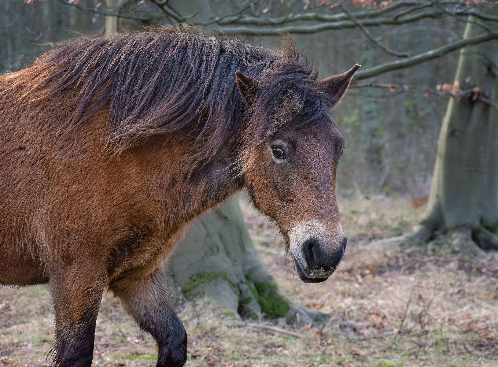Horse Passing by in Beech Forest