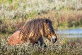 Horse Resting in Bog Myrtle