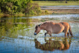 Horse Wading Through a Pond with Lush Green Reeds