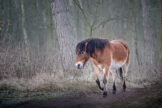 Horse Walking Through Winter Forest