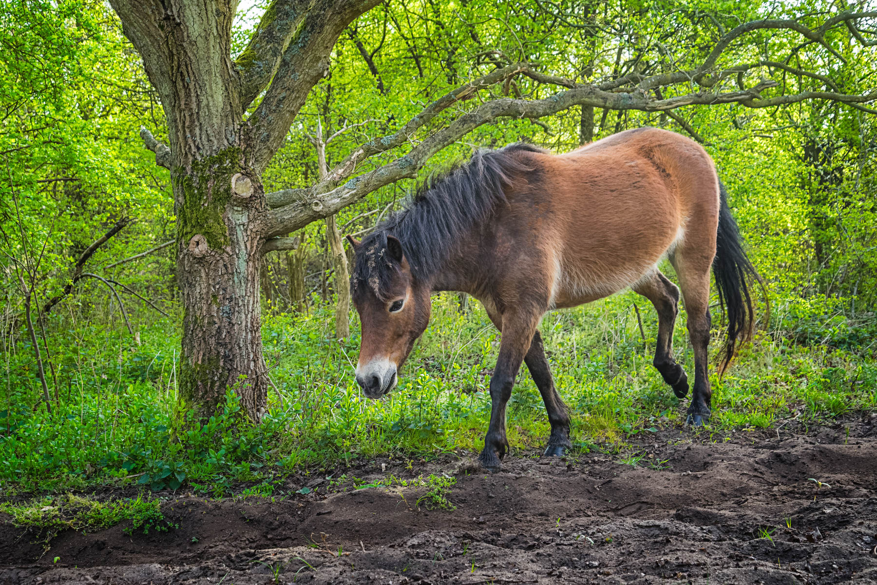 Horse Walking in Spring Forest
