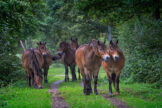 Horses Approaching with Caution on a Forest Path