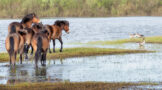 Horses Crossing Wet Meadow Encounter Goose Family