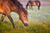 Horses Grazing in Lush Summer Meadow