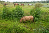 Horses Grazing in Overgrown Ditch Meadow and Pond