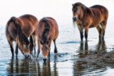 Horses Grazing in a Shallow Pond