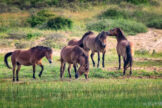 Horses Hanging out Together at the Edge of a Dune Pond