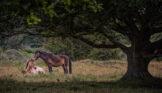 Horses Resting Near Oak Tree