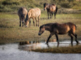 Horses at the Bank of a Pond