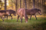 Horses on Indian Summer Morning