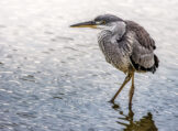Juvenile Grey Heron in Shimmering Pond