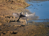 Juvenile White Wagtails Squabbling in Flight Low to the Ground