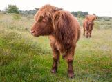 Long-Lashed Young Highland Bull