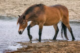 Long-Tailed Pony Stepping Through Shallow Water