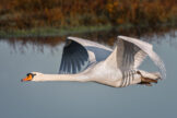 Low Flying Swan