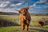 Madcap Antics of a Young Highland Bull
