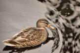 Metallic Water Duck