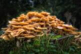 Mount of Honey Fungus