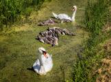Mute Swan Family Feeding on Duckweed