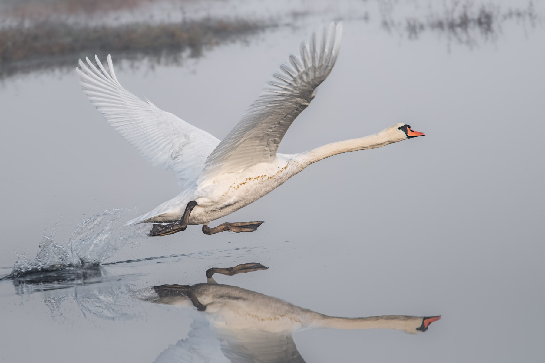 Mute Swan Running on Water to Gain Speed for Takeoff