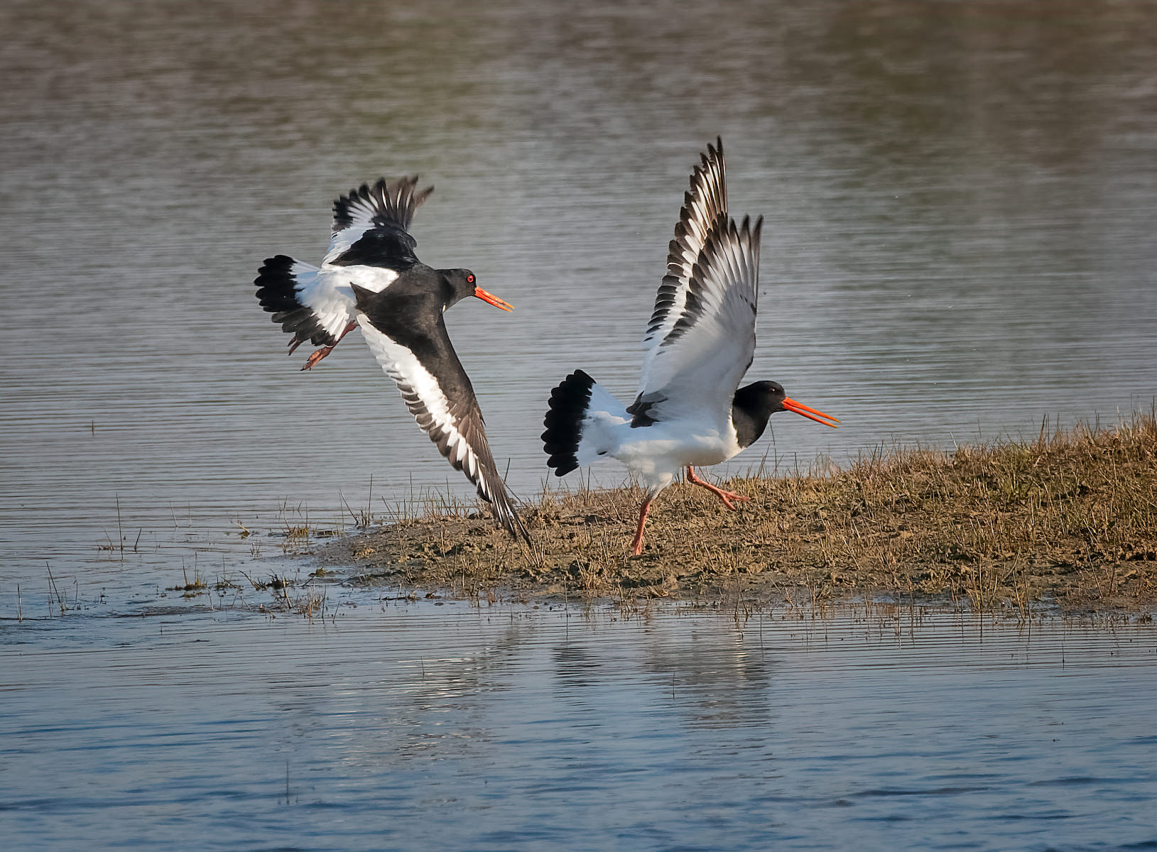 Oystercatchers in Territorial Dispute