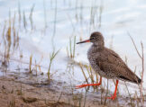 Perkily Stepping Redshank
