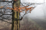Persistent Beech Leaves in Misty Forest