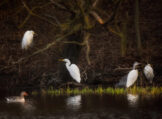 Pond Life in Early Spring with Egrets Herons and Geese