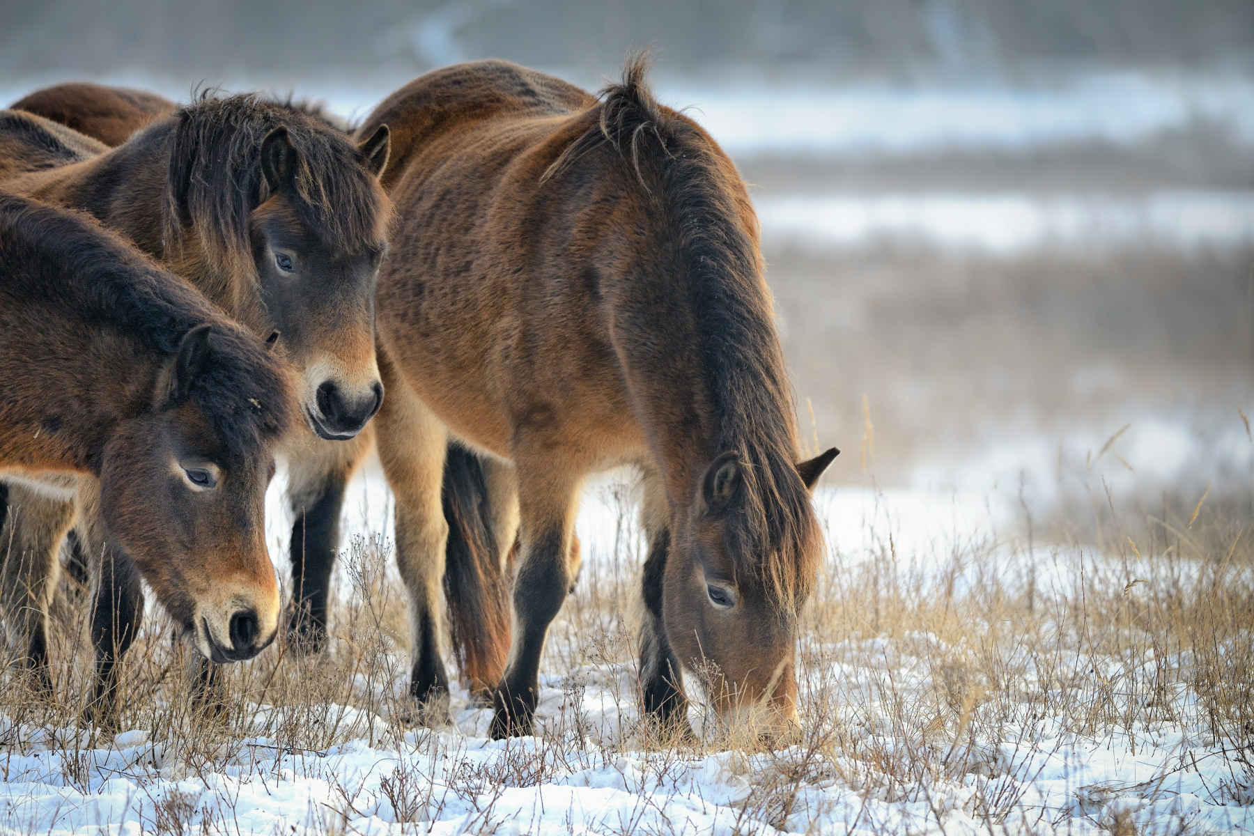 ponies grazing in a snowy field