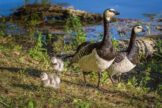 Portrait of Barnacle Goose Family