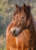 Portrait of a Horse Looking Sideways