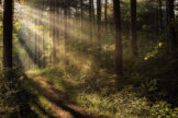 Rays of Light in Pine Forest
