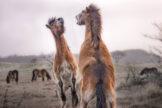 Rearing Exmoor Pony Stallions