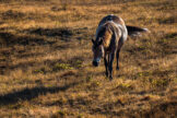 Shiny Horse in Backlight Walking on Golden Dry Grass