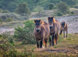 Some Horses Come Trotting Through the Dunes