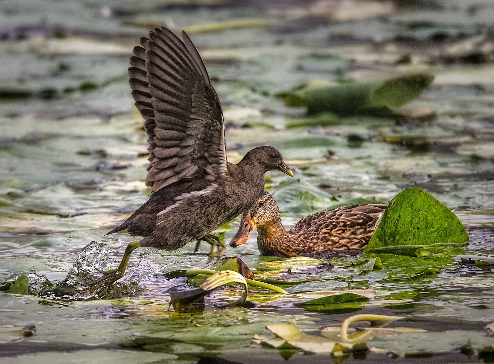 Swamp Chicken Overrunning Mallard