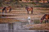 Swan Strolling amid Drinking Horses