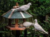 Three Collared Doves at a Feeder