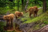 Three Highland Calves at a Water Hole