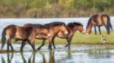 Three Horses Walking Through a Wet Meadow