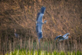 Two Grey Herons Flying over Pond