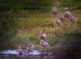 Two Greylag Goose Families Getting in the Water