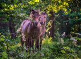 Two Horses Peeking Through Branches